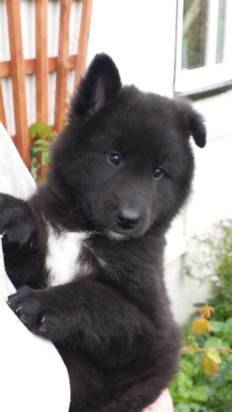 groenendael puppies pedigree belgian shepherd groenendael puppies westbury wiltshire pets4homes