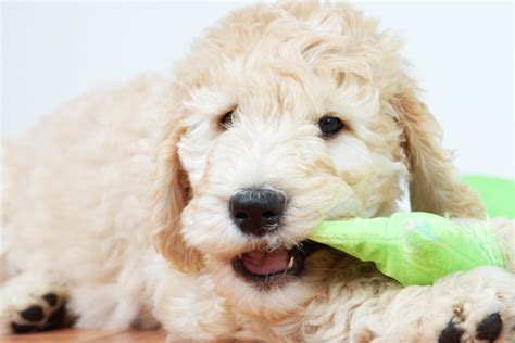 goldendoodle puppy chewing goldendoodle breed information puppies pictures
