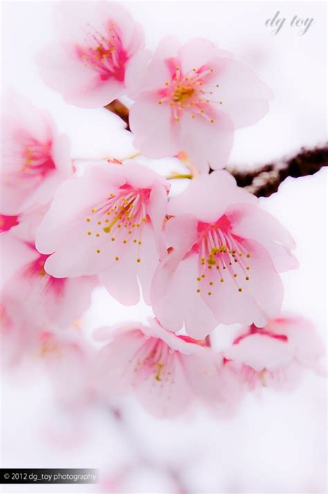 Cherry Blossom Goodness by Morning Cherry Blossoms Things That I Pink
