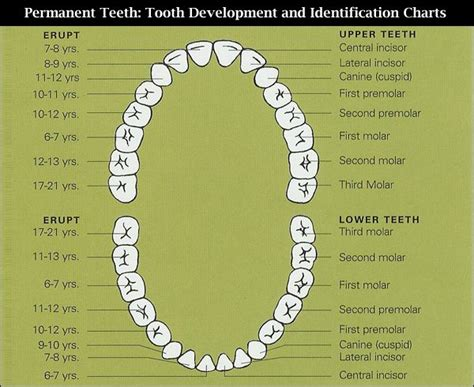pediatric teeth diagram 63 best dental infographics charts images on