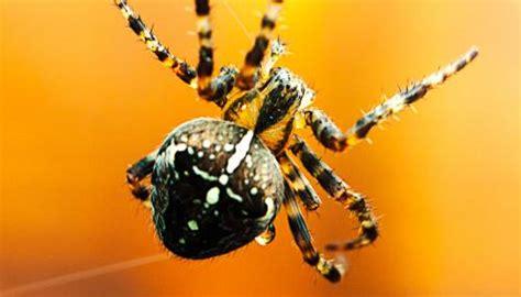 Garden Orb Spider Uk Bite The Wildlife Trusts