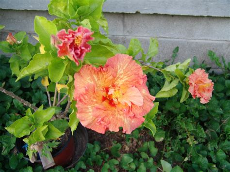 hibiscus tropical peach double flowered