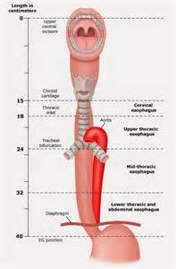 Esophagus stomach diagram as well esophagus diagram further diagram of