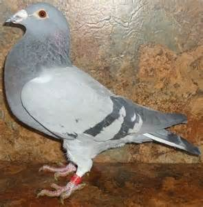 homing pigeons aka racing homers common colored