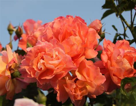 westerland rose orange shrub rose