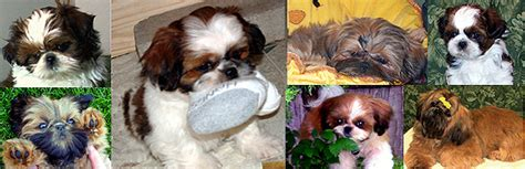 shih tzu care sheet shih tzu puppies for sale in indiana breeder of shih tzu puppies