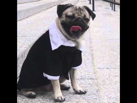 the order of the pug doug the pug starring in and order pug will make your day pawbuzz