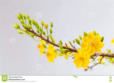 new year flower tradition yellow apricot blossom closeup hoa mai stock image