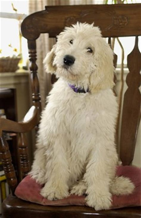 standard poodle golden retriever mix oodles of doodles