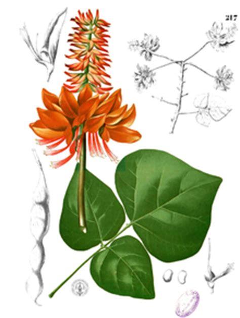 Obat Herbal Amandel Sederhana khasiat daun dadap serep tanaman berkhasiat dan obat