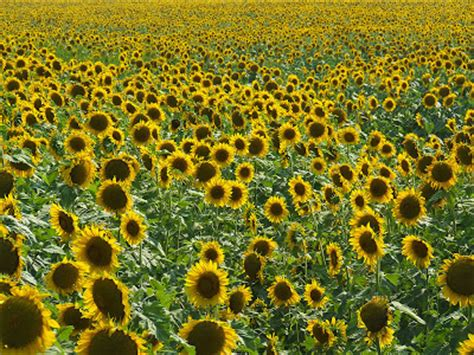 sunflower field off route 15 in northern new jersey near sparta rome of the west july 2007