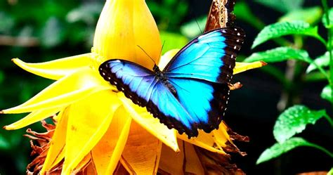 imagenes de mariposas morfo azul mariposas azules morpho caracter 237 sticas y h 225 bitat