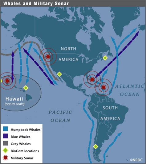migration pattern of blue whale image gallery whale migration