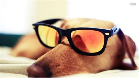 puppy sunglasses sleeping with sunglasses dogs picture