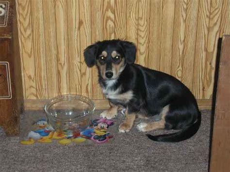 shih tzu cross breed siberian husky 34 dachshund cross breeds you to see to believe