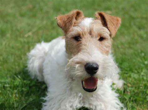 pug wire hair terrier k 246 pek irkları k 246 pek cinsleri k 246 pek t 252 rleri wirehaired fox terrier