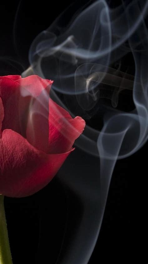 rose smoke black close  iphone  wallpapers hd