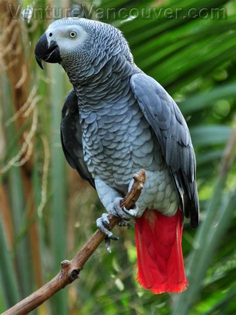 african grey parrot bloedel conservatory vancouver canada animals pinterest grey old