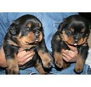 Akc German Rottweiler 1207 25 Miles Breed 338 Location