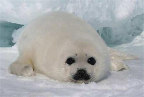 imagenes de focas blancas abaixo de zero caracter 237 sticas da ant 225 rtida