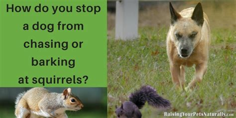 how do you stop a from barking how do you stop a from chasing or barking at squirrels raising your pets