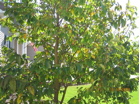 fruit bearing trees identification can anyone identify this fruit bearing tree in nc grow