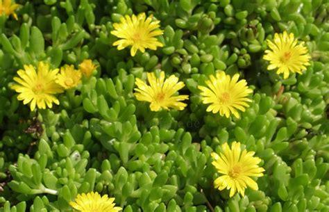 stauden gelb winterhart delosperma liniare gelbe stauden mittagsblume