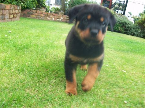 rottweiler puppies for sale rochester ny rottweiler puppies albany ny breeds picture