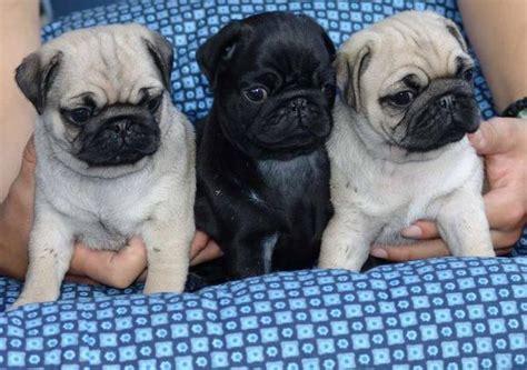pug puppies ta mopshond nederland mopshond te koop mopshond puppies te koop kopen mopshond hond