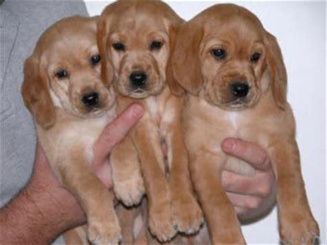 spanador puppies spanador puppies