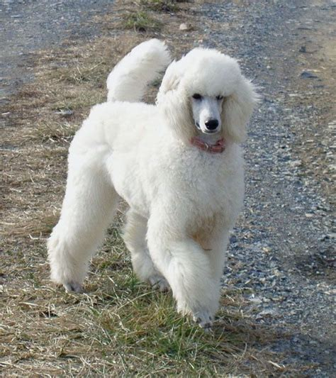 white poodle puppies a beautiful white standard poodle poodles