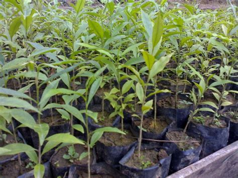 Pohon Kayu Cendana Wangi Ntt 3 Bibit bibit gaharu sekilas tentang bibit gaharu