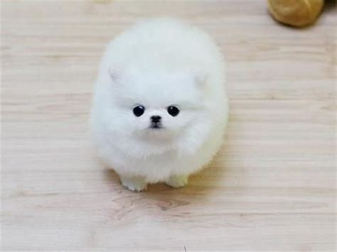 white miniature pomeranian best 25 miniature pomeranian ideas on pomeranian puppy pomeranian and