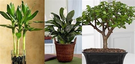 Feng Shui Jade Plant Front Door by Feng Shui Says This Plant At Right Place Is Key To