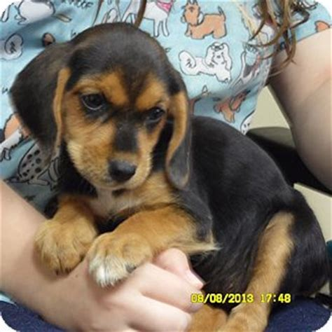 beagle mix puppies for sale best 25 beagle lab mixes ideas on