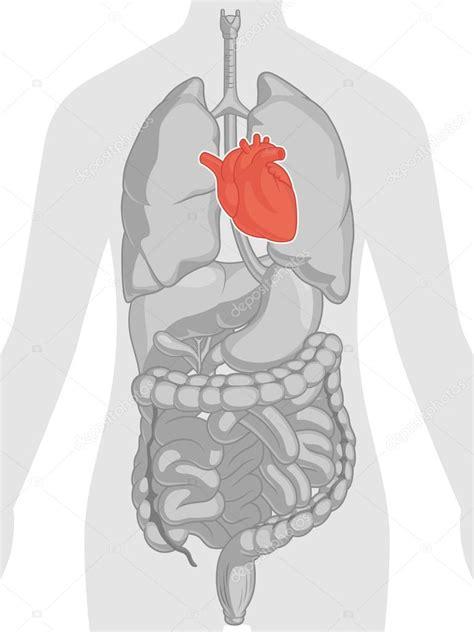 imagenes de corazones del cuerpo humano anatom 237 a del cuerpo humano coraz 243 n vector de stock