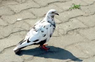 white pigeon with dark spots stock photo colourbox