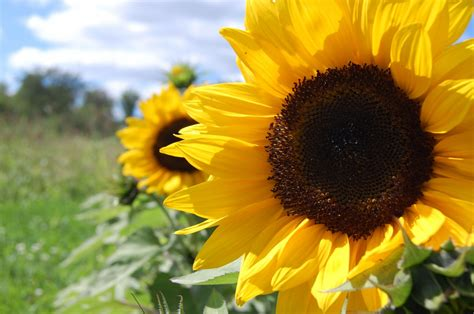 sunflowers wallpaper  images