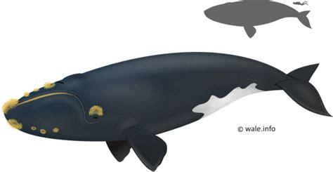 Minyak Ikan Paus beragam jenis ikan paus dhottest