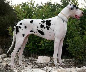 Find great dane puppies for sale