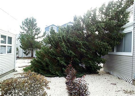 how to fix a leaning christmas tree evergreen uprooted by hurricane reborn as s tree