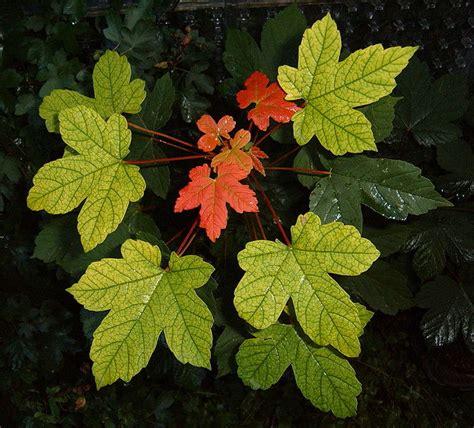 file carlton and maple leaf file maple leaves jpg