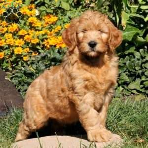 goldendoodle puppies dallas goldendoodle puppies for sale in pa greenfield puppies