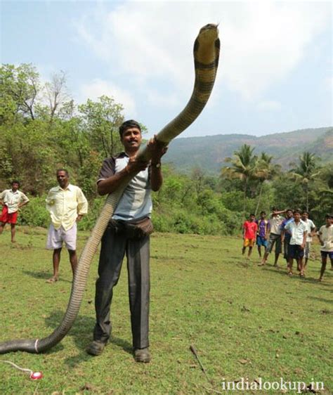 film ular cobra india gambar 10 ular cobra terbesar di dunia sepanjang sejarah