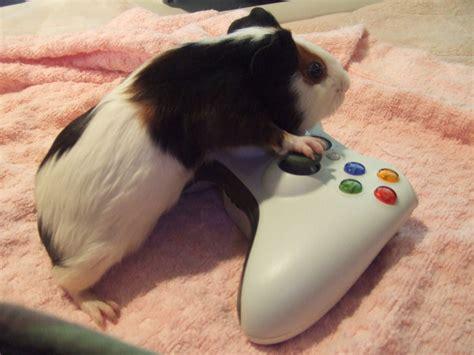 guinea pug nintendo pig guinea pigs photo 26443962 fanpop