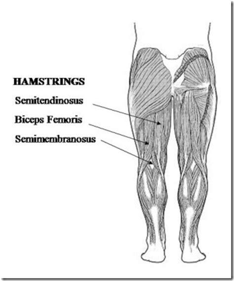 hamstring muscles diagram hamstring muscles diagram www pixshark images