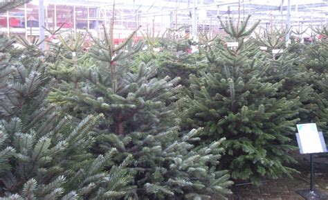 christmas trees horsham rushfields plant centre
