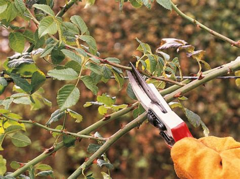 how to prune roses the garden glove