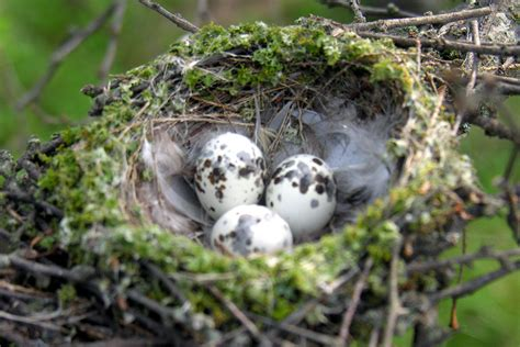 The Birds Nest photos of bird nests and eggs
