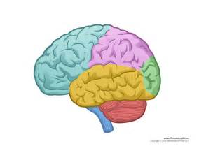 brain color brain diagram blank color tim de vall